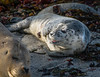 New born harbor seal pup
