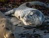 New born harbor seal pup