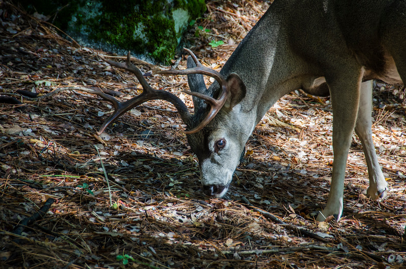 White-tailed Buck close up