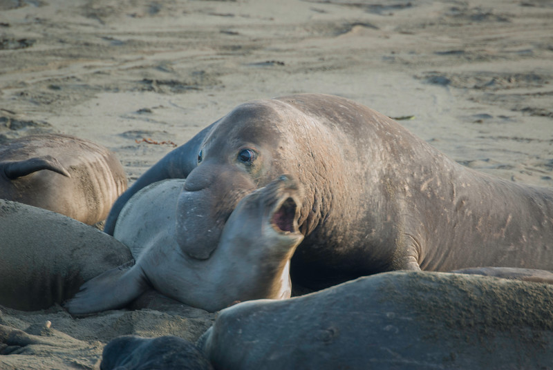 Elephant Seal Foreplay