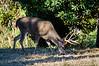 Antlered Mule deer buck