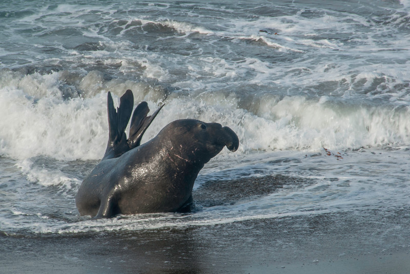Adolescent Bull Checks if Coast is Clear