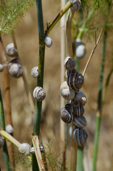 Milk snails in their masses