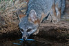 Gray Fox Drinking at the Pond