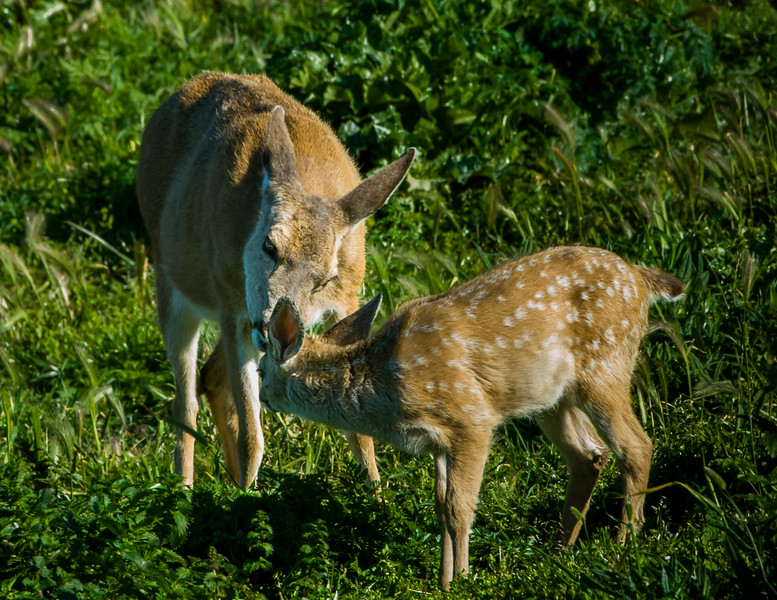 Doe and Fawn Greeting