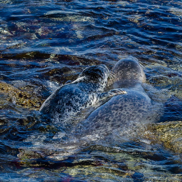 Mother harbor seal takes new pup out for a swimming lesson