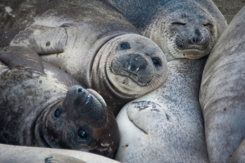 Another Elephant Seal Huddle