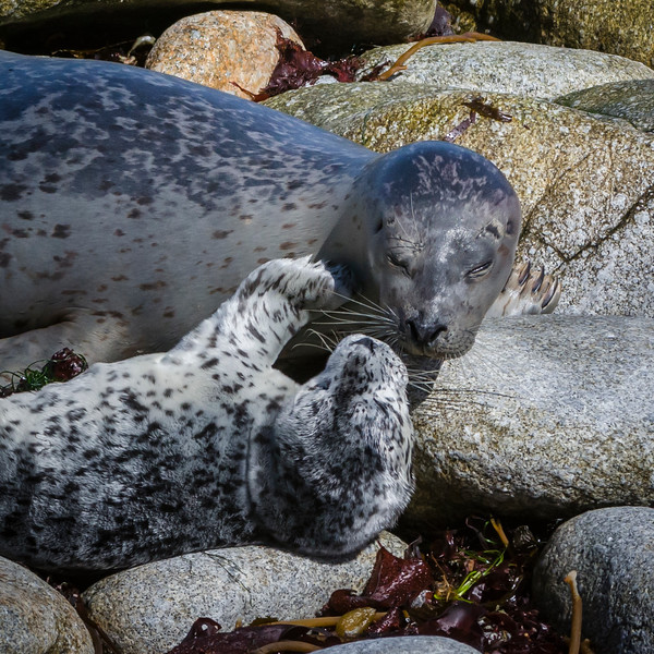 Mother harbor seal checks on baby in rocks