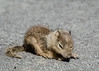 Baby ground squirrel a little lost in the parking lot