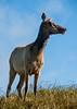 Female Tule Elk