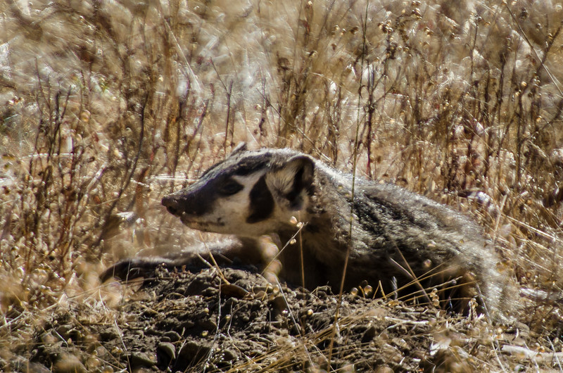 American badger watches from his burrow