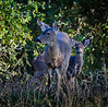 Two yearling fawns wander out of the foliage