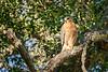 Tecolote Falcon