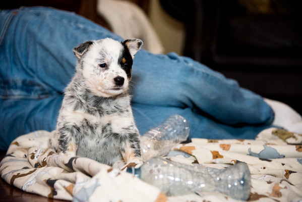 Camelot ACD Pups 2017.01