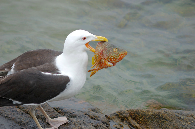 Seagull's snack