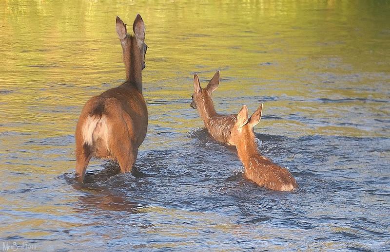 deer, faon