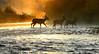 wading sunrise deers