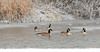 Tomichi geese