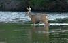 Wading deer