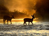 Foggy sunrise deers
