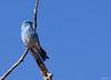 Rocky Mountain Bluebird