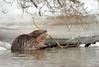 Beaver meal