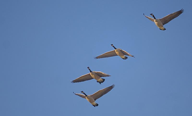 Dos Rios geese (Gunnison)