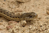 Rocky Mountain snake