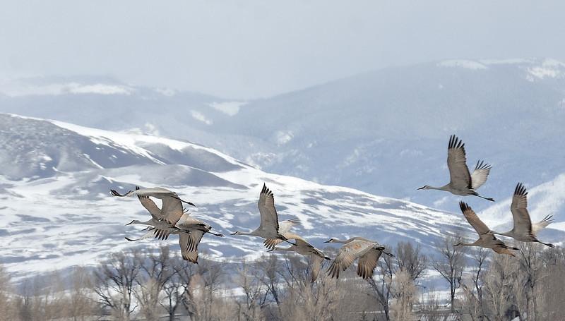 Sand hill cranes ( Grues )