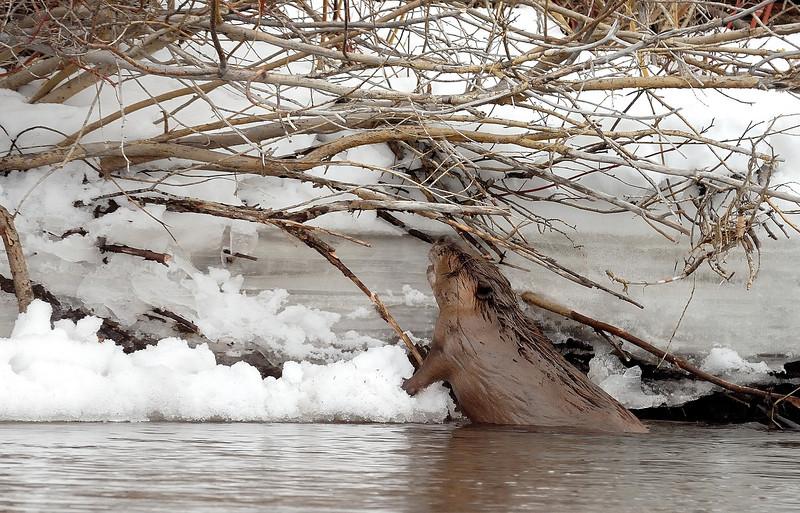 Hard work , oily beaver