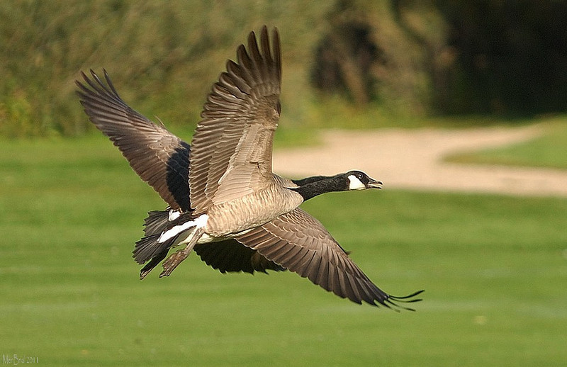 4 wings goose