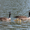 Geese and Chicks 23 Apr 2018-9254