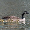 Geese and Chicks 23 Apr 2018-9248