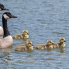 Geese and Chicks 23 Apr 2018-9262
