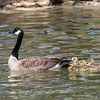 Geese and Chicks 23 Apr 2018-9213