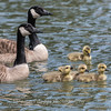 Geese and Chicks 23 Apr 2018-9261