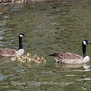 Geese and Chicks 23 Apr 2018-9226