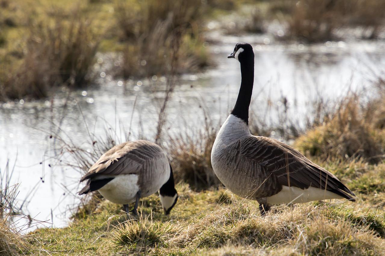 Canada goose (Kanadagås)