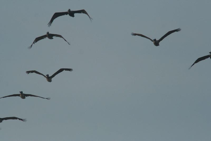 Brown Pelicans at dawn