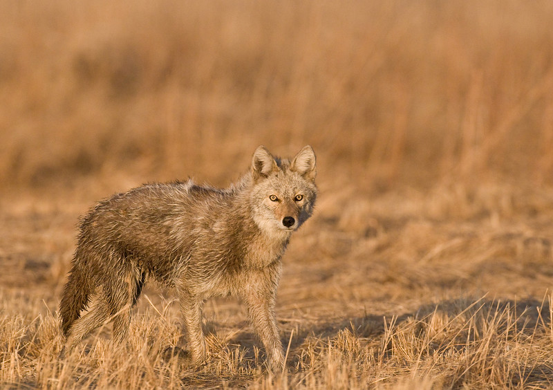 MCY-9015 Coyote: (Canis latrans) While photographing Prairie Chickens in NW Minnesota, this coyote came on the far end of the Lek and proceeded to walk on the far end, but it was towards our blind and we all were able to capture several images.