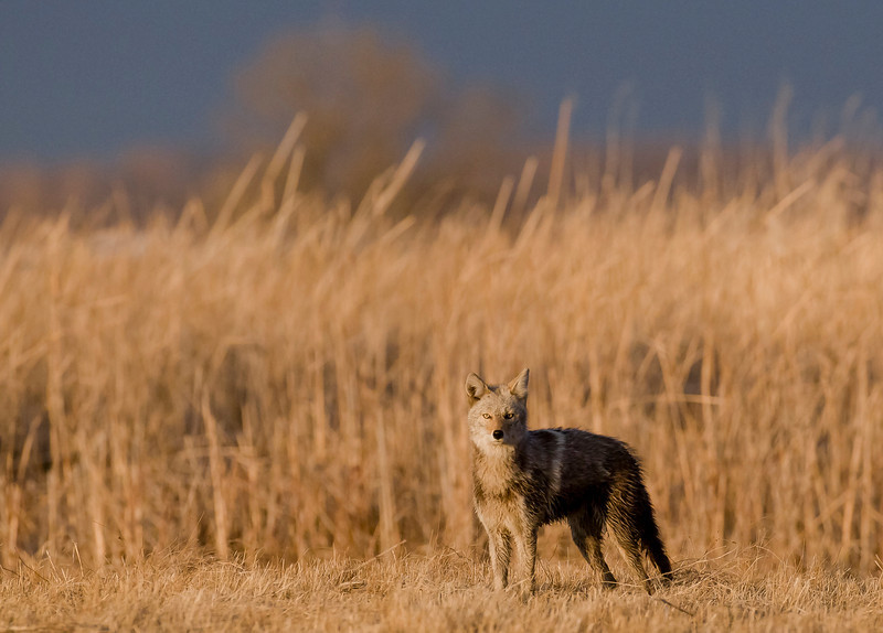 MCY-9005: Coyote checking out the photographers (Canis latrans)