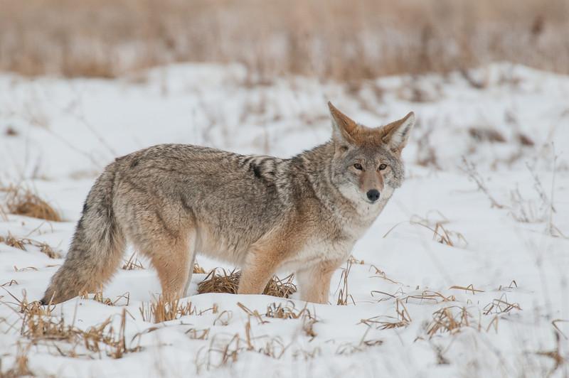 MCOY-12-68: North American Coyote