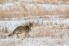 MCOY-12-138: Running Coyote
