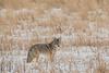 MCOY-12-150: Coyote in December
