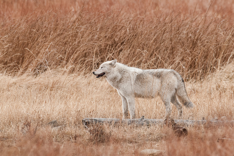 "MWLF-12-113: Alpha female Gray Wolf--""Canis lupus""(This is the ""white"" phase Gray Wolf Alpha Female of the Canyon Pack in Yellowstone National Park)"