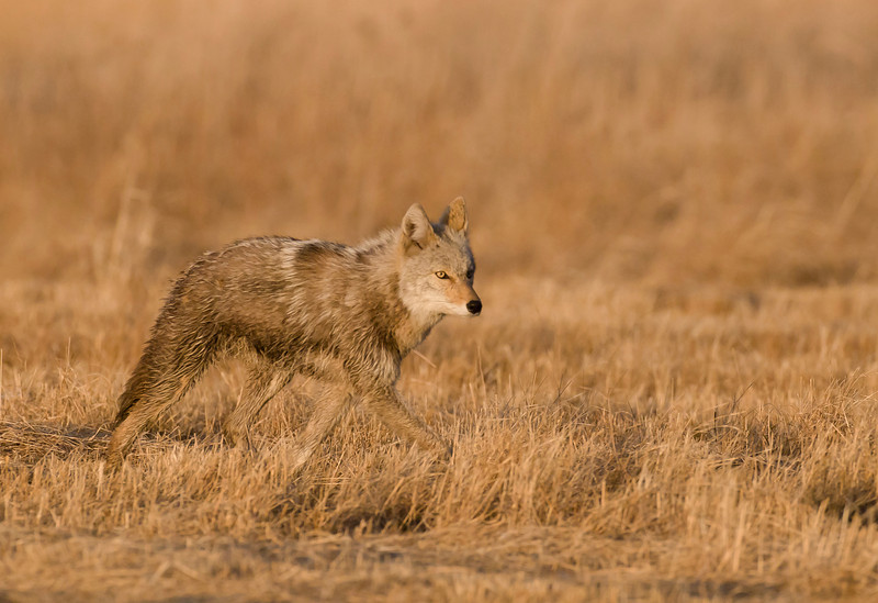 MCY-9011: Coyote (Canis latrans)