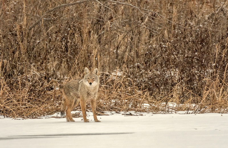 Coyote checking out the photographer