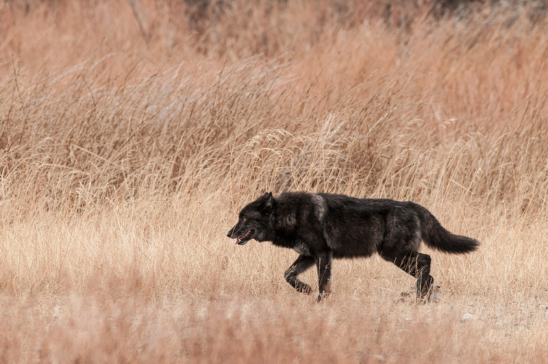 MWLF-12-136: Alpha Male on the move