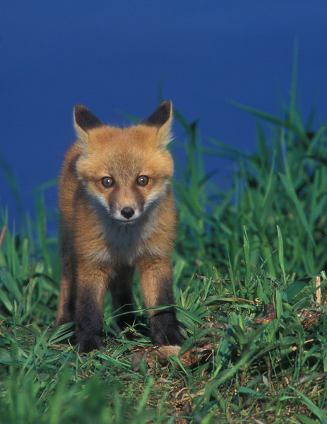 S0025 Red Fox kit: (Vulpes vulpes) This little kit probably just made his first appearance to the world outside. His big wide eyes was carefully looking over this strange guy with a big black object it front of his head.