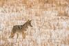 MCOY-12-129: Alert Coyote
